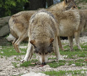 Gray Wolf devour some meat — Stock Photo