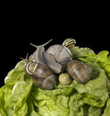 Lettuce and snails closeup — Stock Photo