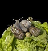 Sałata i ślimaki zbliżenie — Zdjęcie stockowe