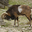 Mouflon rubbing at stone — Stock Photo