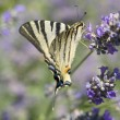 Scarce Swallowtail — Stock Photo #7396934