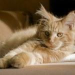 Maine Coon kitten — Stock Photo #7397087
