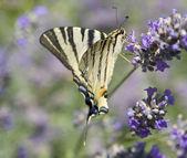 Scarce Swallowtail — Stock Photo