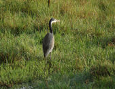 Grey Heron in grassy ambiance — Stock Photo