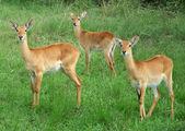 Uganda Kobs in grassy vegetation — Stock Photo