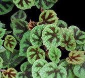 Bicolored leaves in black back — Stock Photo