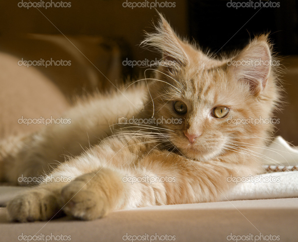 Red tabby Maine Coon kitten resting on a couch — Stock Photo #7397087
