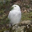 Stock Photo: Snowy Owl partly hidden