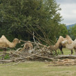 Bactrian Camels at fed - Stockfoto