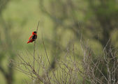 Red Bishop in blurry back — Stock Photo