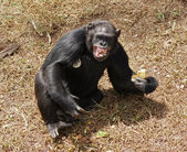 Chimpanzee baring teeth — Stock Photo