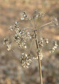 Seedy stalk — Stock Photo