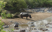 Hippos waterside — Stock Photo