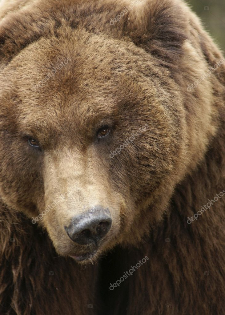 Portrait of a grimly looking Brown Bear — Stock Photo #7409707