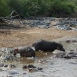 Some Hippos waterside — Stock Photo