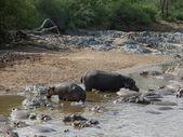 Some Hippos waterside — Stock Photo