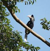 Silvery-cheeked Hornbill in Uganda — Stock Photo