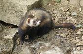 Ferret in stony back — Stock Photo