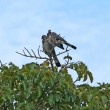 Africbirds on treetop — Stock Photo #7434351