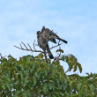 Stock Photo: Africbirds on treetop
