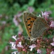 Butterfly named Lycaenphlaeas — Foto de stock #7434510