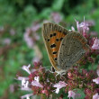 Butterfly named Lycaenphlaeas — Foto Stock #7434510