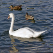 Swan and ducks on water surface — Stock Photo