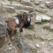 Mouflon in stony ambiance — Stock Photo #7434973