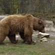 Brown Bear sideways — Stock Photo