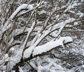 Snow covered twigs — Stock Photo