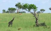Giraffe in african savannah — Stock Photo