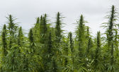 Hemp field detail — Stock Photo