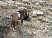 Mouflon in stony ambiance — Stock Photo