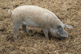 Domestic Pig and manure — Stock Photo
