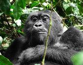 Gorilla in Africa — Stock Photo