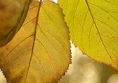 Vibrant colored autumn leaves — Stock Photo
