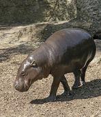 Pygmäennilpferd — Stockfoto