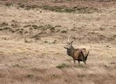 Deer in Scotland — Stock Photo