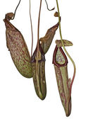 Carnivorous plant detail — Stock Photo