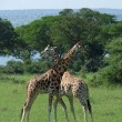 Giraffes at fight in Uganda — Stock Photo
