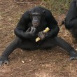 Stock Photo: Chimpanzees on ground