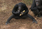 Chimpanzees on the ground — Stock Photo