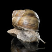 Grapevine snail on black — Stock Photo