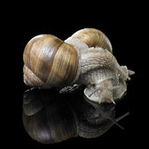 Two Grapevine snails on each other — Stock Photo