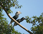 Silvery-cheeked Hornbills in Africa — Stock Photo