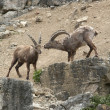 Two Alpine Ibex at fight in stony ambiance — Stock Photo #7506309