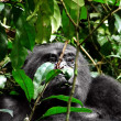 Gorilla in Uganda — Stock Photo