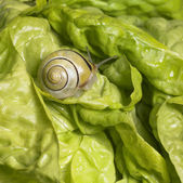 Grove snail upon green lettuce — Stock Photo