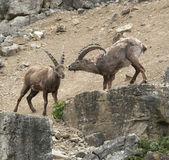 Two Alpine Ibex at fight in stony ambiance — Stock Photo