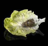Grapevine snail on green lettuce leaf — Stock Photo